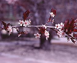 cherryplum