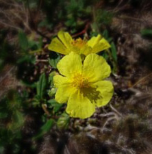helianthemum[1]