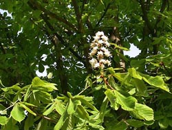 whitechesnut