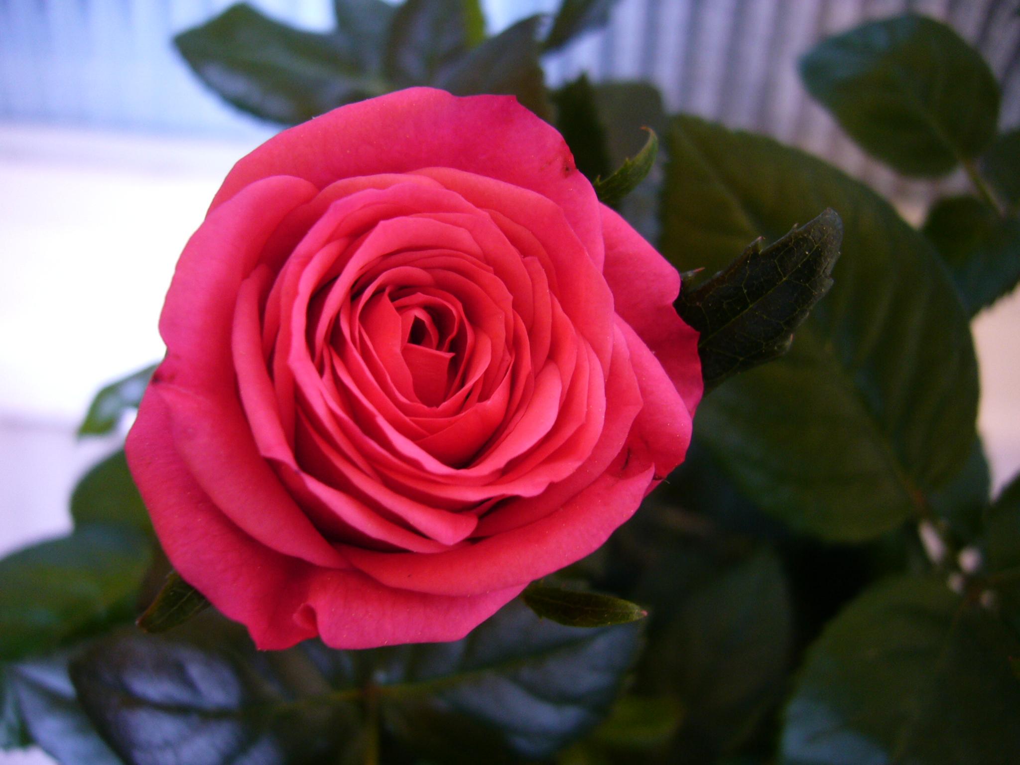 Plantas y flores de bach cenefas de flores for Pianta rosa